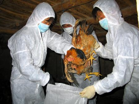 Bird flu chicken cull