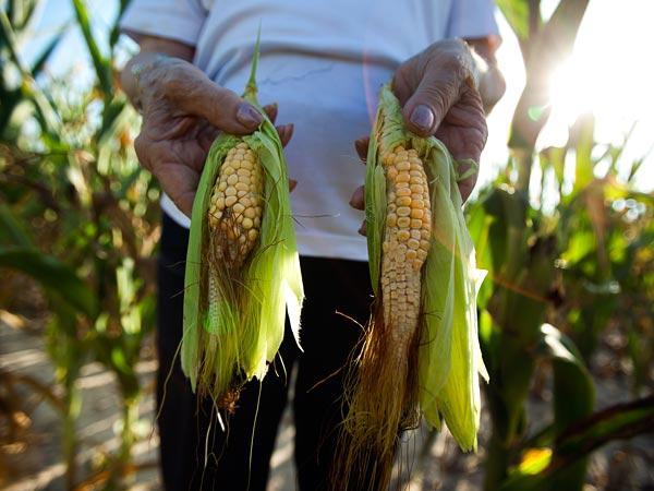 Drought corn (2)